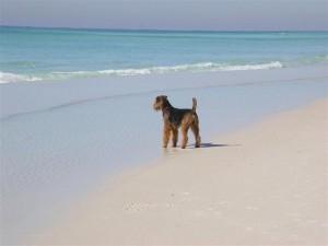 Otis on a California beach