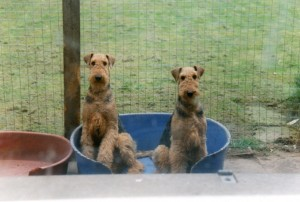 Not Meerkats but mere Airedales